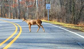 deer in the road lawyer